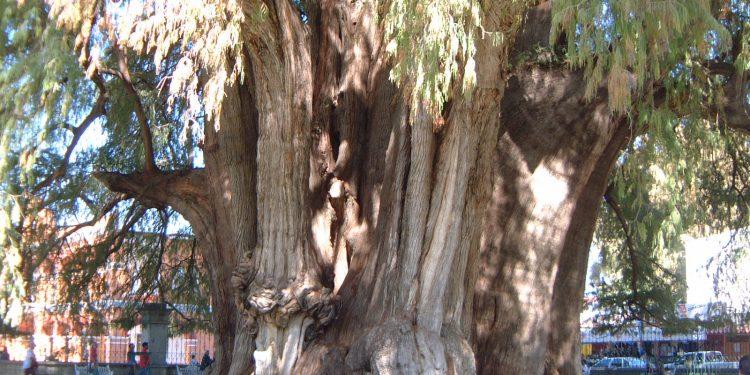El Tule Tree, Oaxaca, Mexico